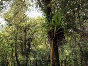 NZの着生植物「カハカハ」