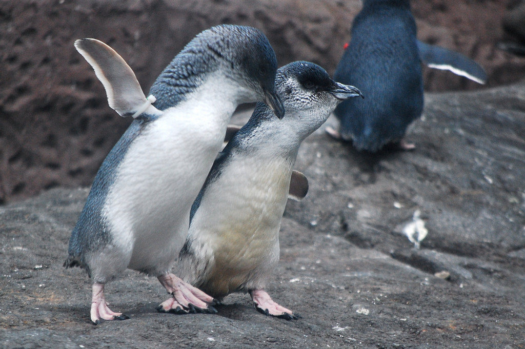 Little blue penguins at the Antarctica Center in Christchurch.