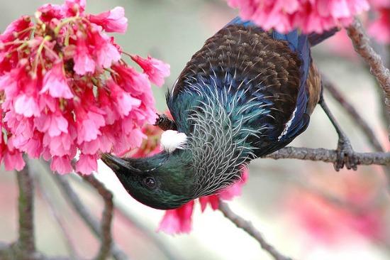 ニュージーランド流の桜のめで方がおもしろい!