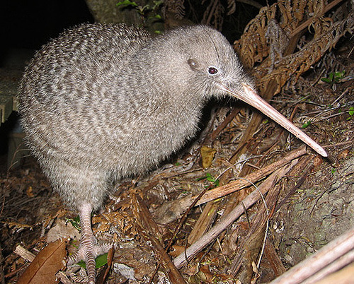 Little Spotted Kiwi photo by Taxi impact