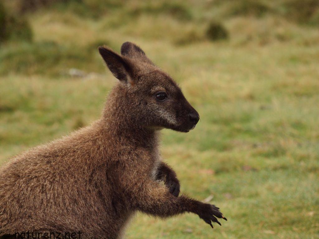 まさか!?ニュージーランド・ロトルアで野生のワラビーが見れる!