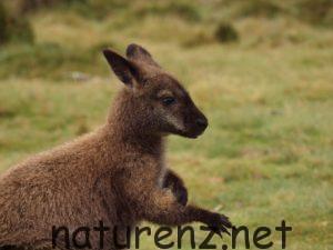 NZにもいる野生のワラビー。小さなオーストラリア『カワウ島』って!?