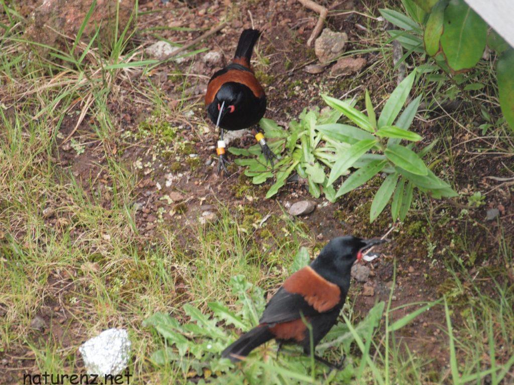 ランギトト島で見かけた「サドルバック」