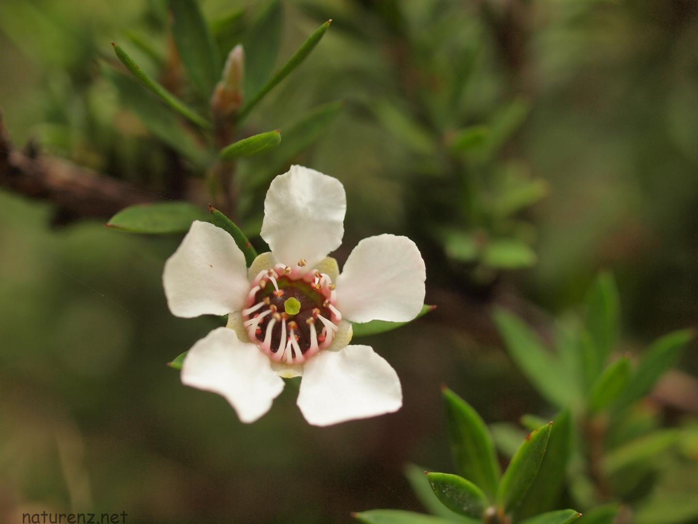 マヌカの花@ニュージーランド