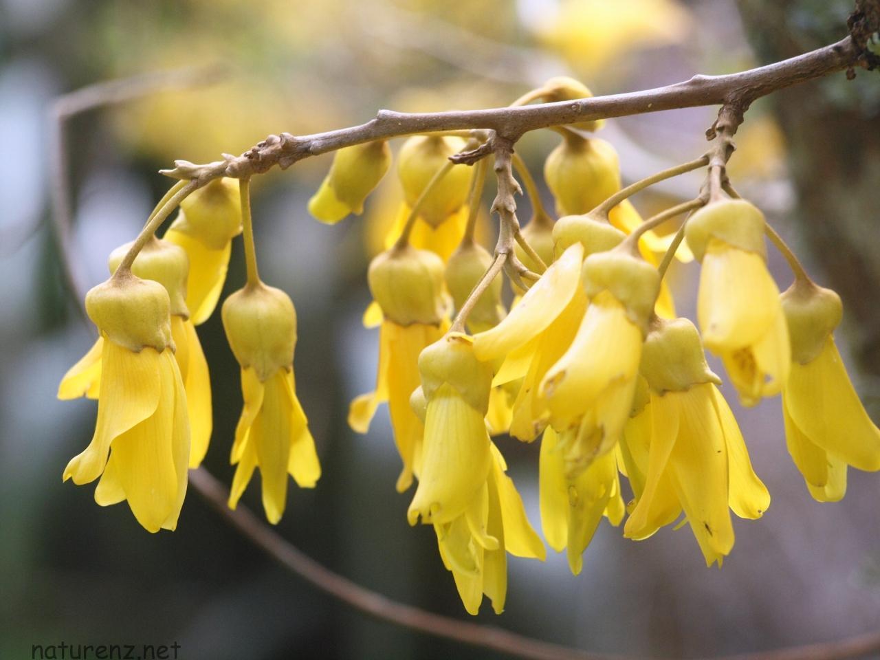 コファイ ニュージーランド 国花