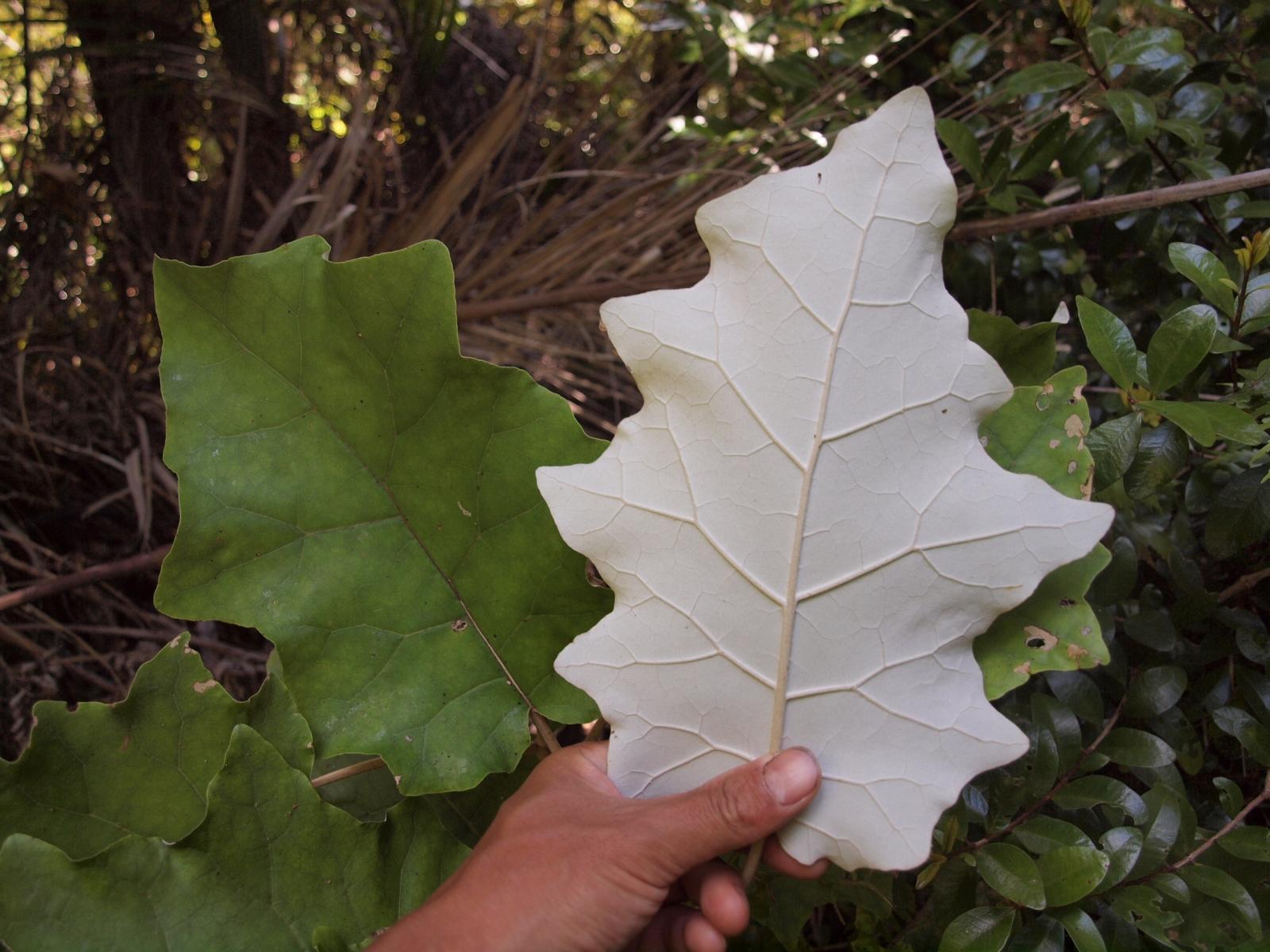 NZの植物・ランギオラ
