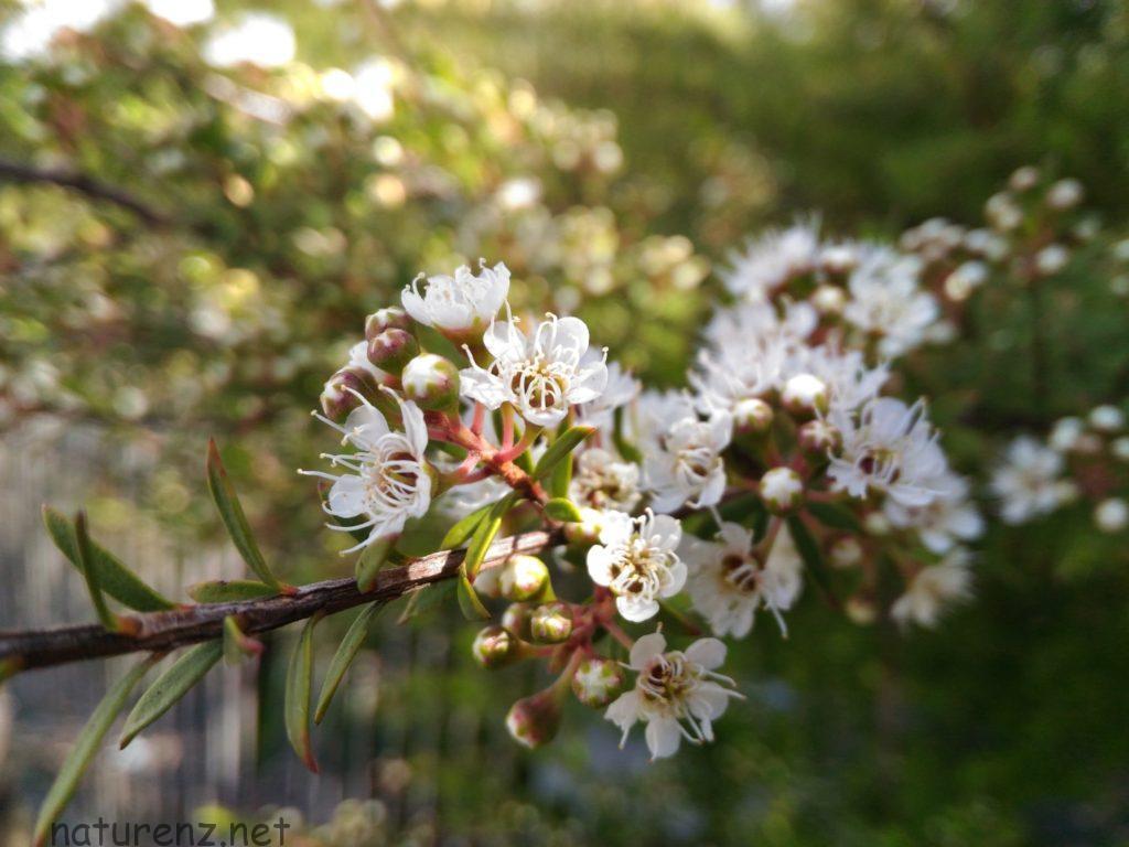 カヌカの花