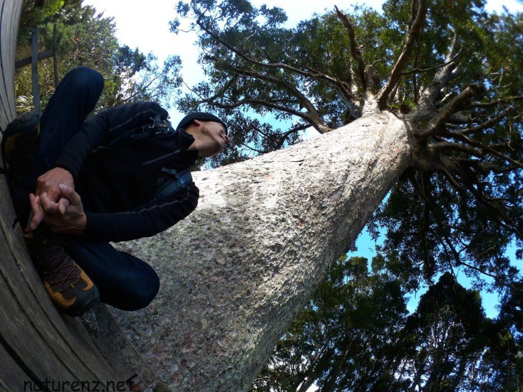樹齢800年のカウリの巨木に触れる。オークランド近郊のパワースポット