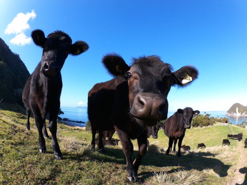 好奇心いっぱいの牛が寄ってきてくれた - whangarei heads