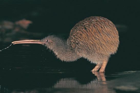 Tokoeka( Stewart Island kiwi) Photo by Active Earth Adventures