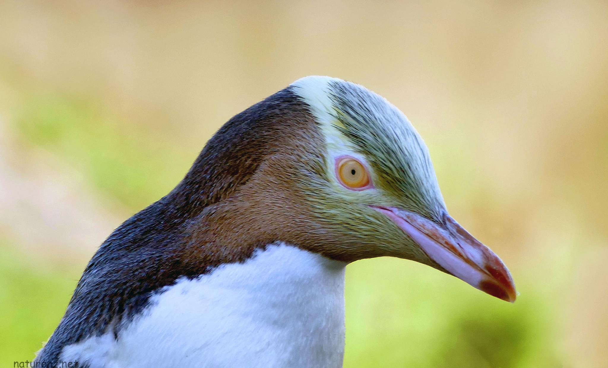 ペンギン王国ニュージーランド!NZ旅行中に見れるペンギン4種類