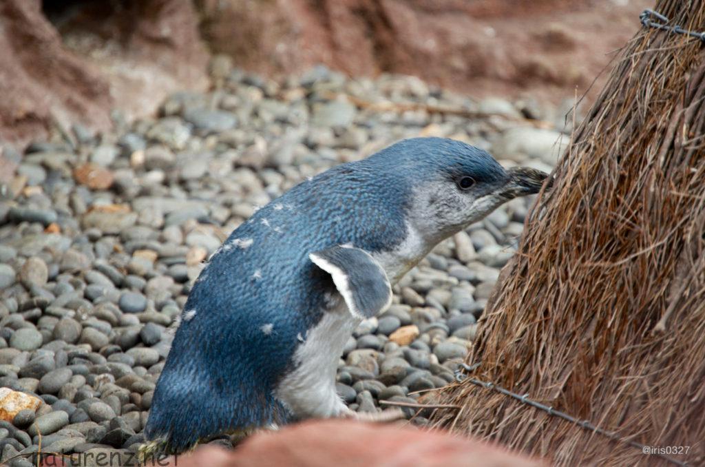 最新調査:ワイヘケ島でブルーペンギンのヒナが40羽確認される!