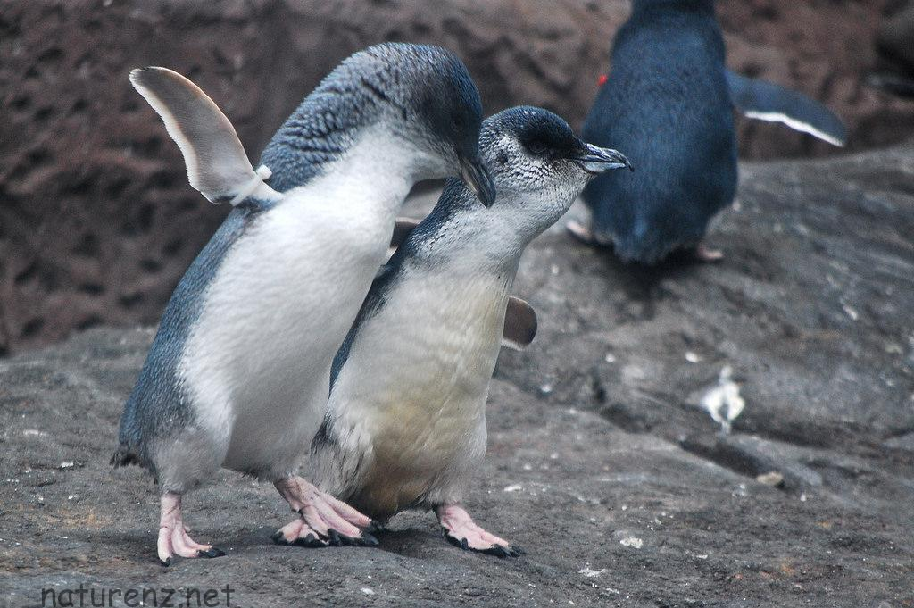 野生のペンギンが見たい!オークランドから行けるペンギン・スポットはここ!