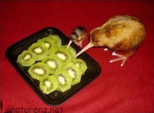 cannibal-kiwi-bird-eating-fruit-13956656374