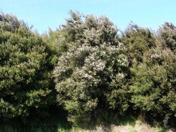 真っ白な花がいっぱいのマヌカの木