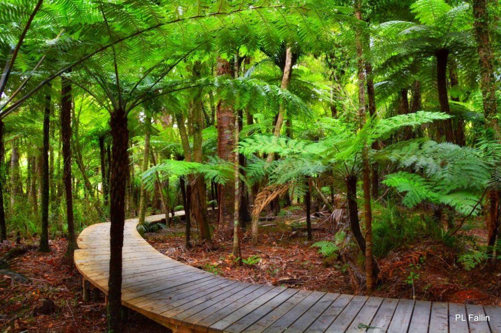 【ワイタケレ自然公園】 樹齢1,000年!?カウリの巨木に出会う、オークランド・シティ・ウォーク