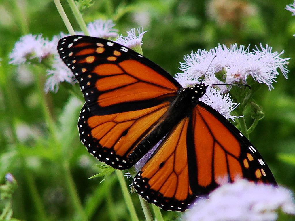 【ニュージーランドの蝶】 よく見かけるオレンジ色の蝶はなんて名前?+調べて分かった3つの発見