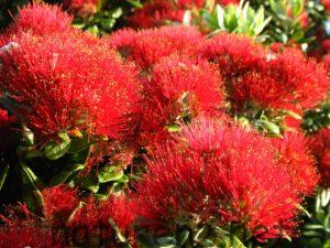 ニュージーランド クリスマス ツリー ポフツカワ pohutukawa