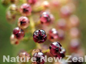 ニュージーランド 毒 猛毒 植物 ツツ