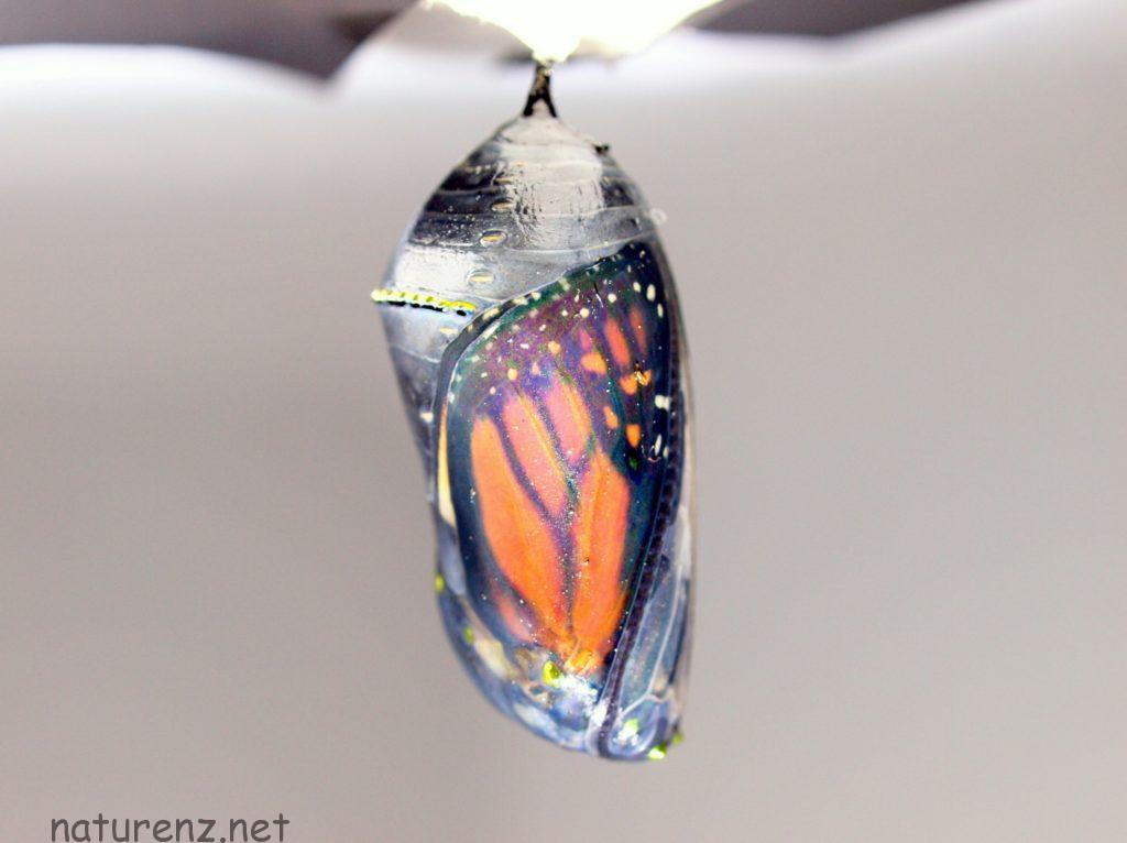 P2288264 - ver2 モナーク バタフライ サナギ ニュージーランド さなぎ 蛹 蝶