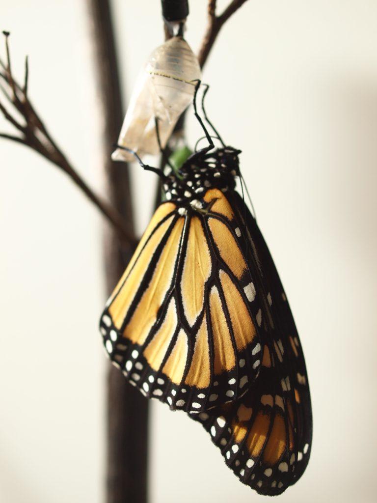 モナーク バタフライ 蝶 ニュージーランド monarch butterfly