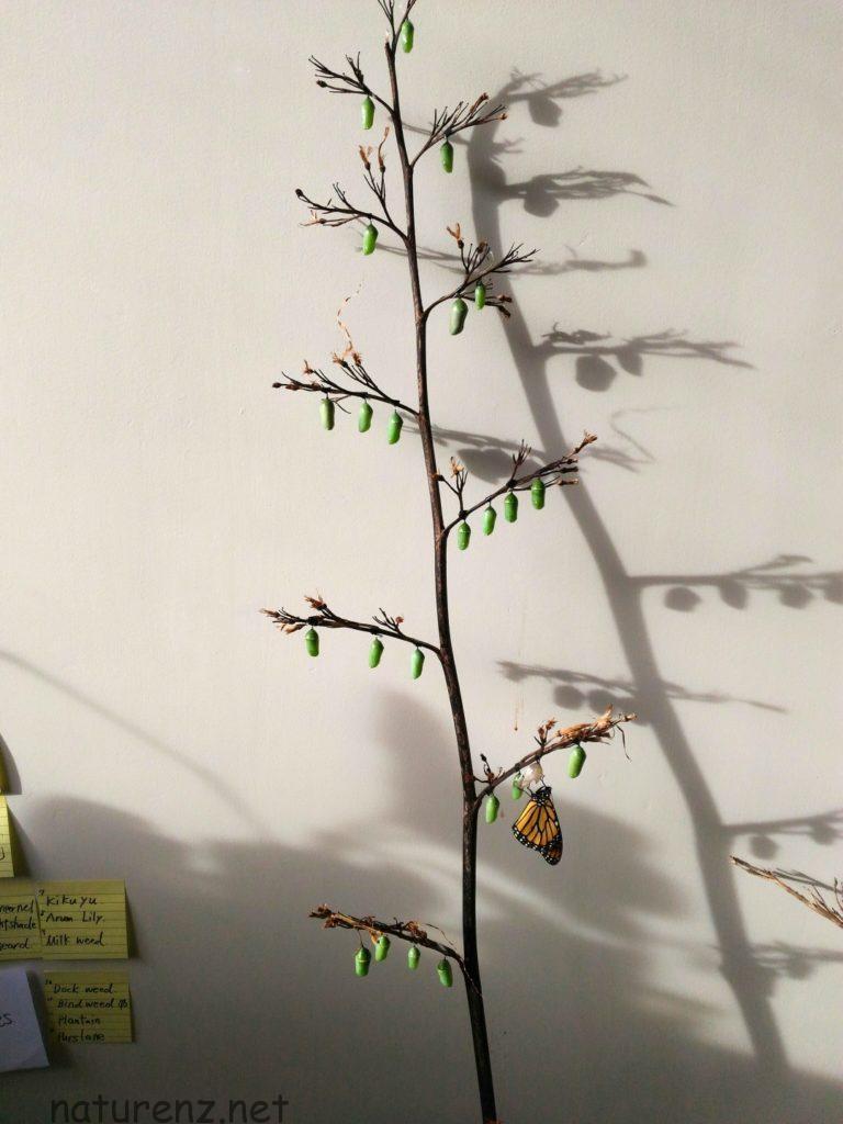 モナークバタフライ monarch butter;fy