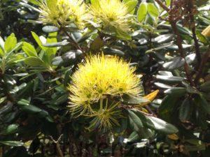 aurea yellow 黄色い ポフツカワ クリスマスツリー ニュージーランド