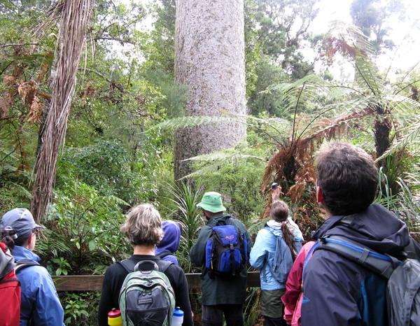 樹齢1000年のカウリ。実際に対面するとかなり巨大に感じる。