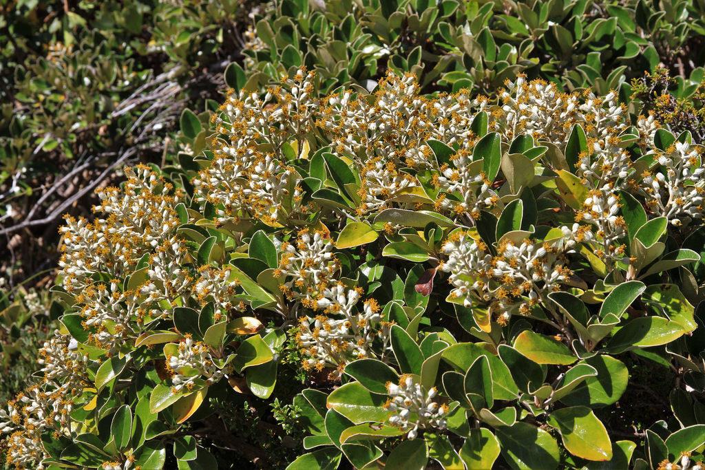 Brachyglottis elaeagnifolia