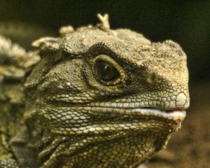3つ目の動物!?ニュージーランド『ムカシトカゲ』の、信じられない10の特徴