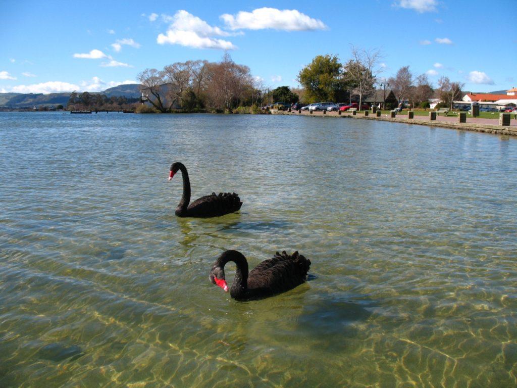ロトルア湖のブラックスワン