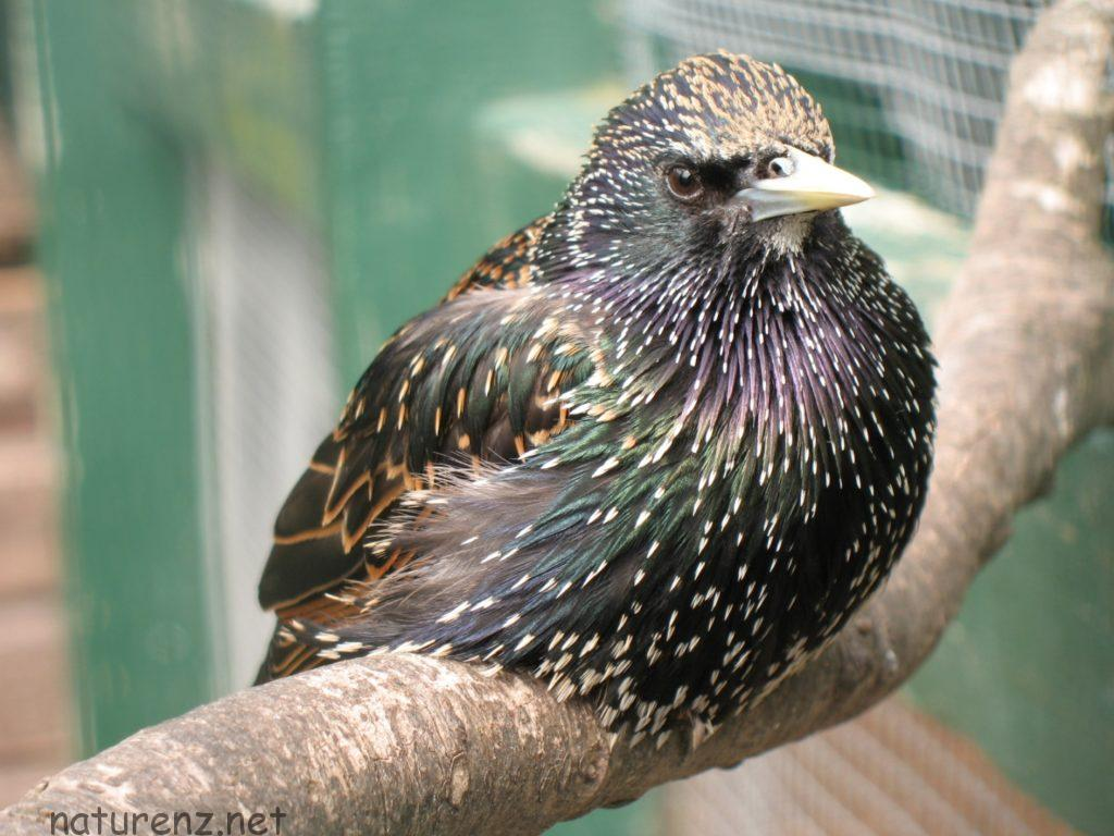 starling スターリング ニュージーランド