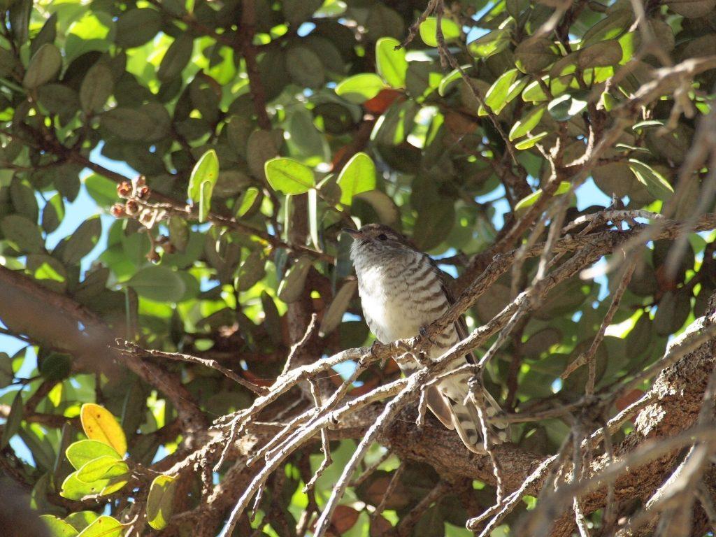Shining Cuckoo on Motutapu island