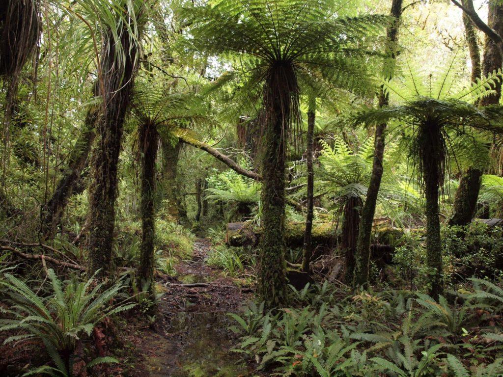 ニュージーランドの森。木性シダとコケが繁茂する太古の森だ。