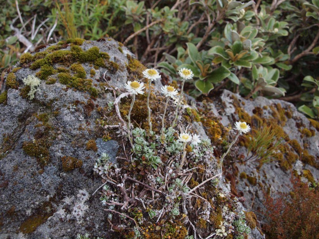 Everlansting Daisy (Anaphalioides bellidioides)