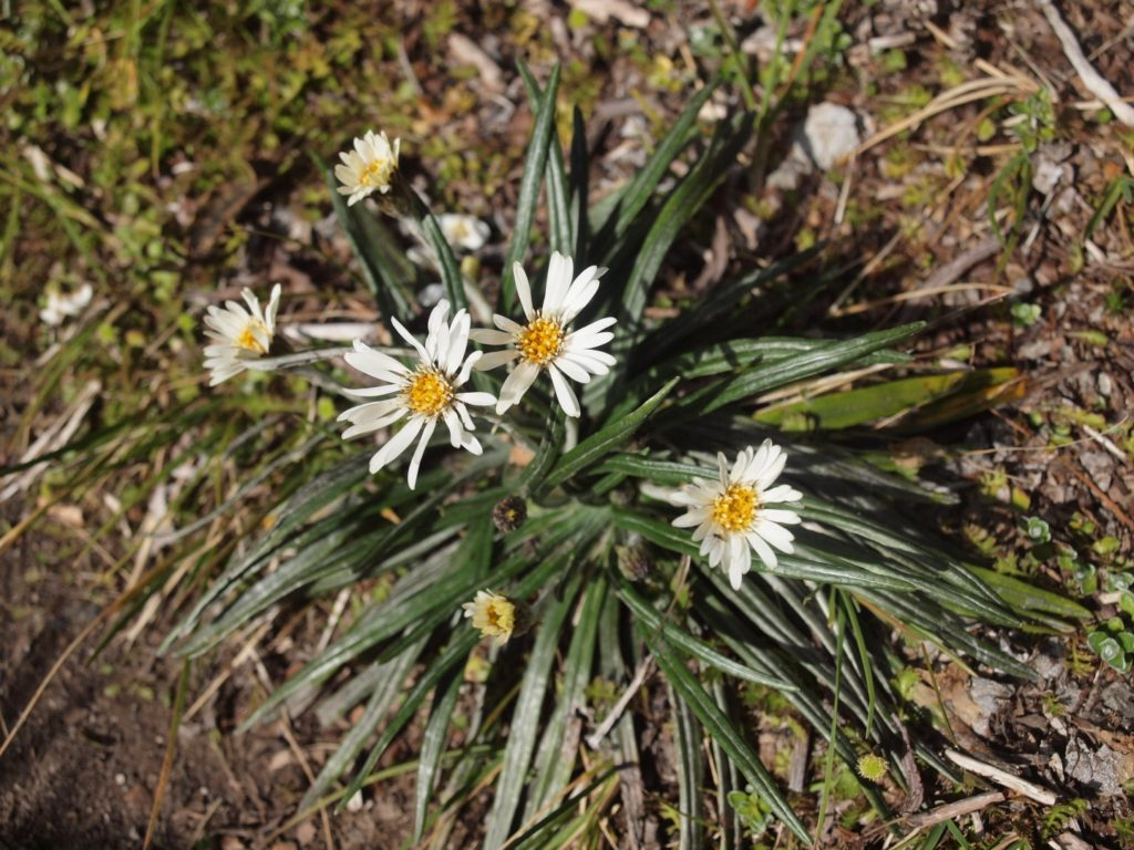 common mountain daisy Celmisia gracilenta