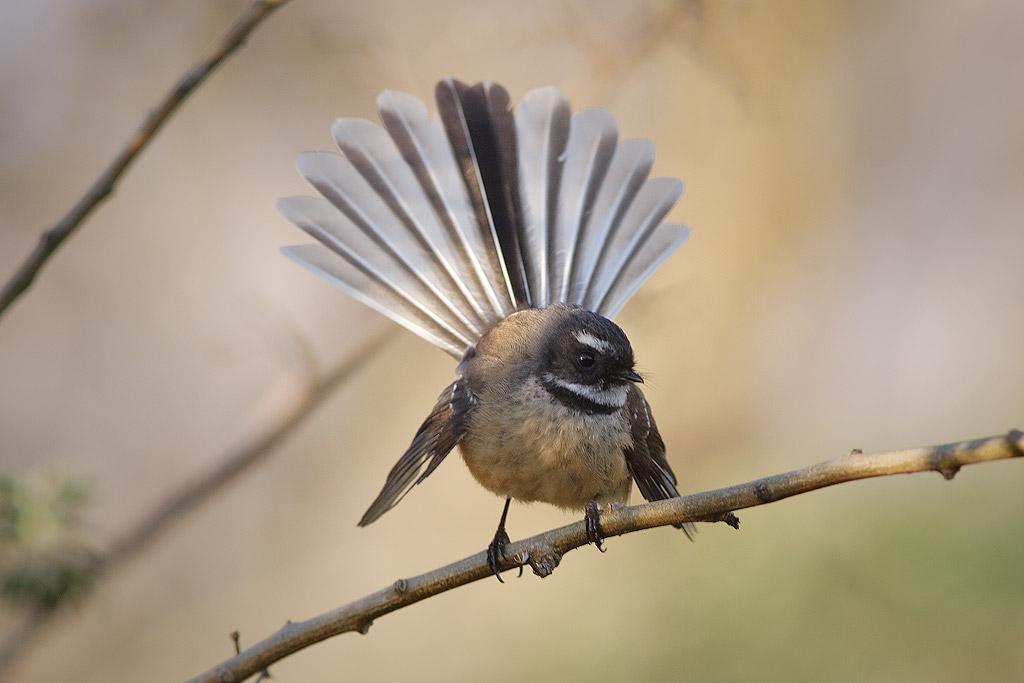 ニュージーランドの街中で見かける野鳥5選~郊外編~