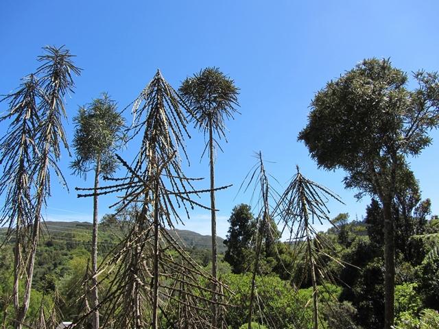 成長すると形が変わる!?ニュージーランドが生んだ不思議な植物『ランス・ウッド』