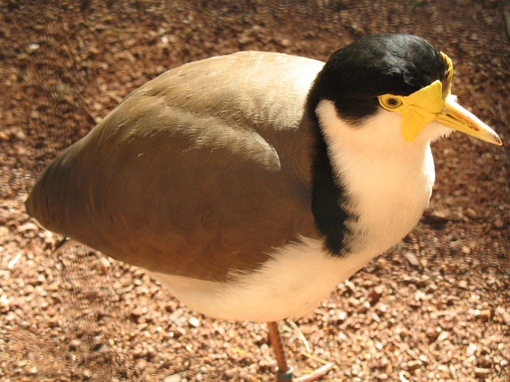 spur-winged plover (masked Plover)