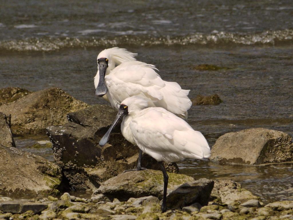 みんな個性的!オークランドの渡り鳥観察会で出会った海鳥7種類