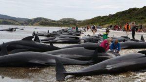 ニュージーランドで過去最大規模、400頭ものクジラが座礁。一体何が起きたのか?