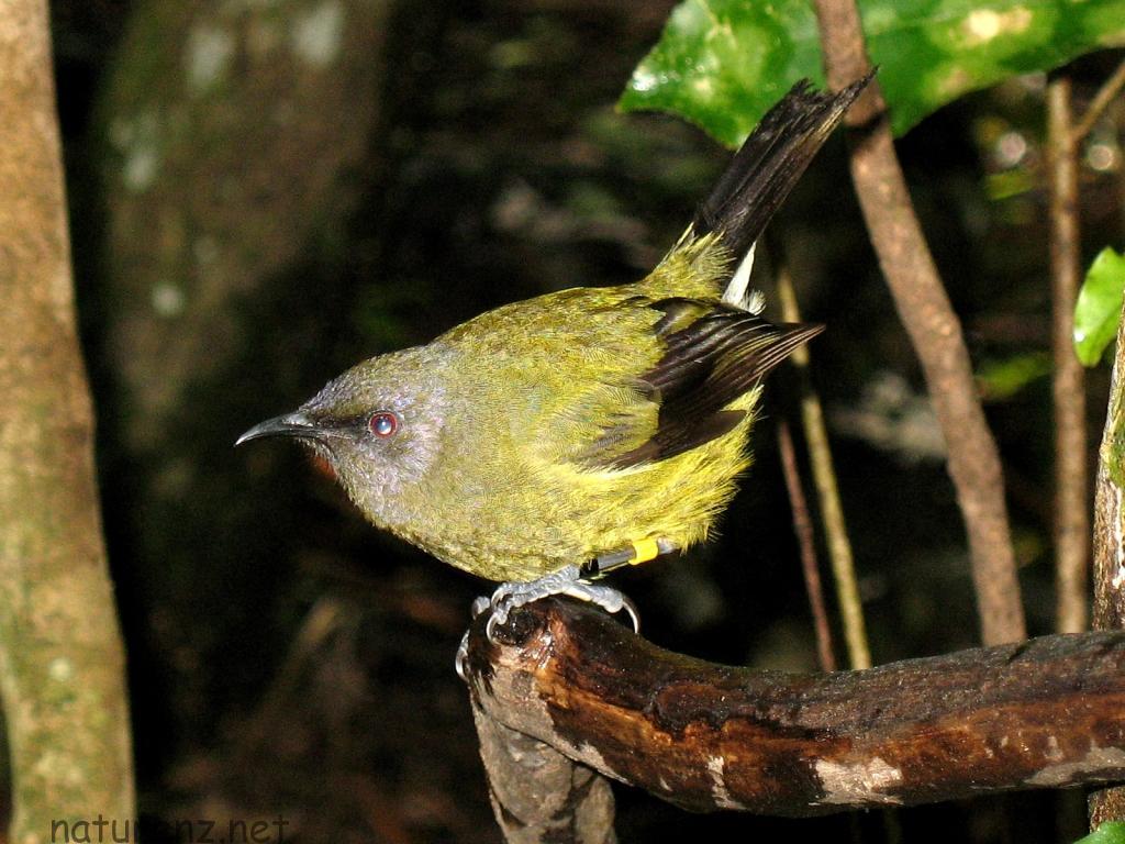 IMG_0765 bell bird ベルバード
