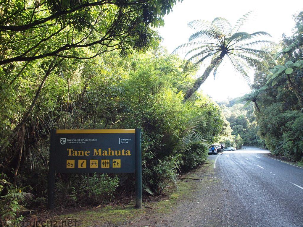 ニュージーランド最大の樹「タネ・マフタ」