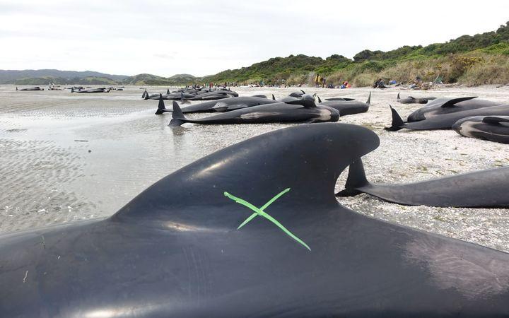 """【続報・NZクジラ座礁】原因はサメ? """"人間の鎖""""でクジラを守れ!"""