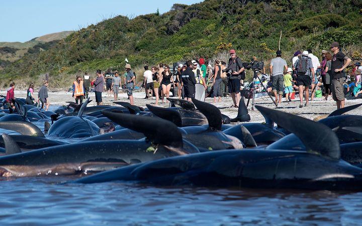 """【終幕・NZクジラ座礁】残ったクジラが""""爆発""""する!? 専門家による後処理へ"""