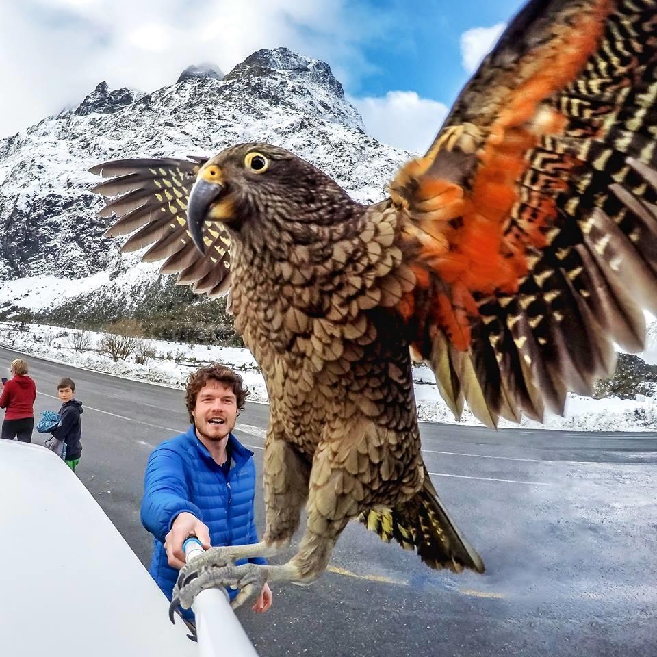 いたずら大好き!ニュージーランドの山岳オウム「KEA」のハチャメチャ映像集