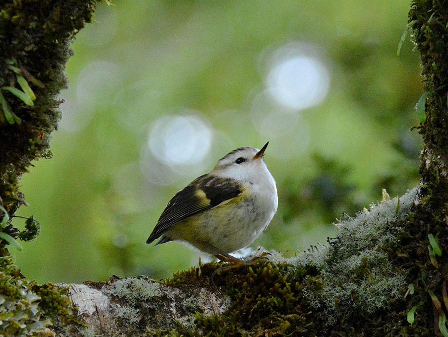 最大9kgから小さじ一杯の6gまで!? ニュージーランド最大の鳥と、最小の鳥