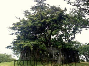 totara マオリの記念樹 オークランド博物館