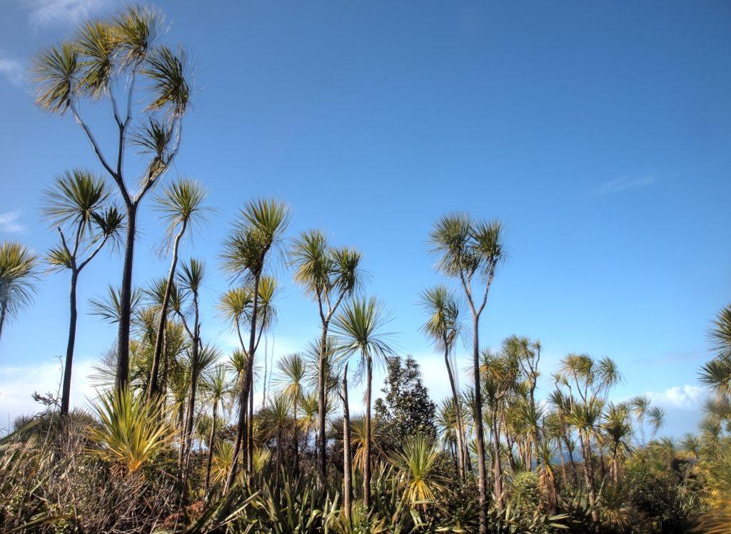 cabbage tree nz 植物 キャベッジツリー