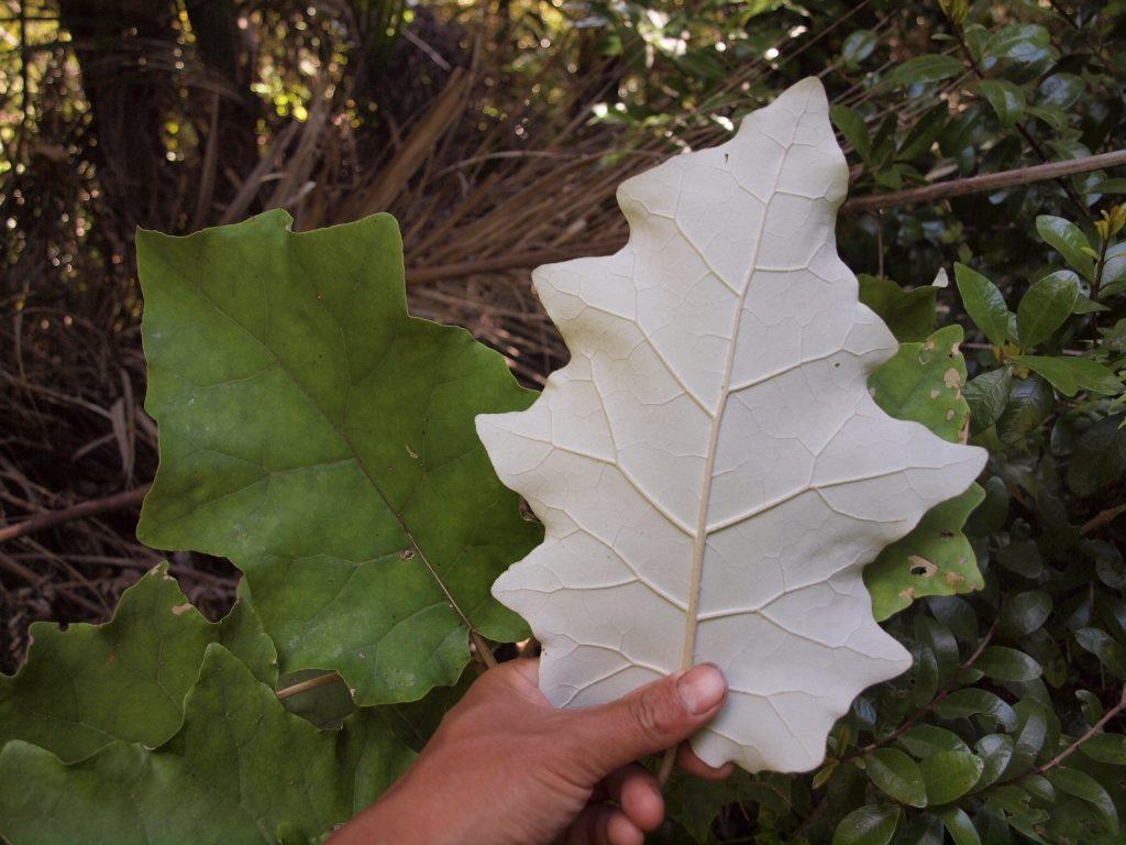 ランギオラ ニュージーランド 植物